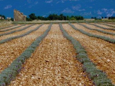 Lavendel Felder - leider etwas zu spät