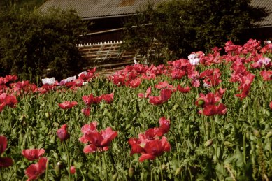 Mohnblumenfelder soweit das Auge reicht