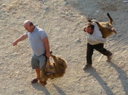ein Schaf als Einkaufstasche Verkledet und das zweite als Rucksack