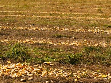 Kürbisschalen nach der Ernte