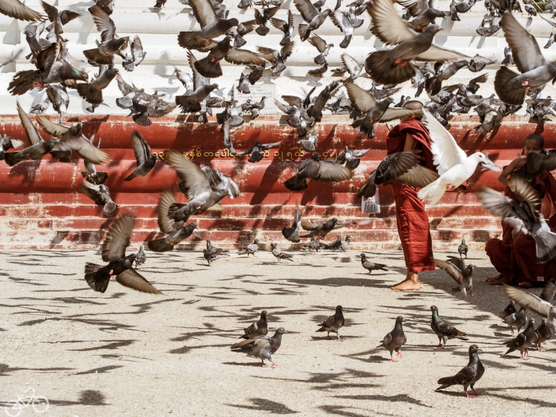 Young monks are playing with pigeons in a buddhistic temple in Myanmar