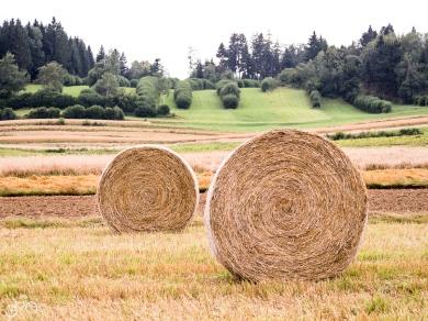 Anfang September hat die Ernte schon angefangen. / Na začátku srpna začínají sklizně.