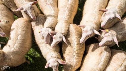 Die Schafe auf ihrer Weide. / Ovce nás vítají na pastvině.