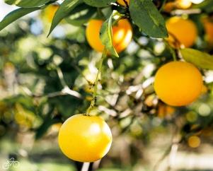 Die Orangen sind gerade reif!