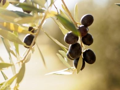 Oliven / Olivy